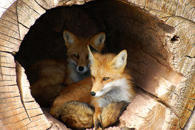 stock photo of hollow log  - Alert twin foxes waiting in a hollow log - JPG