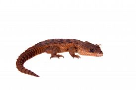 image of girdles  - Transvaal Girdled Lizard - JPG