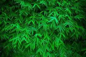 image of bamboo leaves  - green leaves of bamboo plant use as natural background - JPG