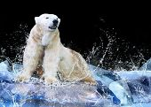 image of polar bears  - White Polar Bear Hunter on the Ice in water drops - JPG
