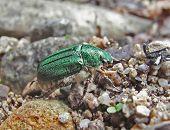 Escarabajo Esmeralda (Rhombonyx Holosericea)