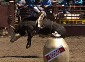stock photo of brahma-bull  - Bull Rider at 2006 Russian River Rodeo Duncans Mills California - JPG