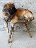 Pekingese Posing On Chair