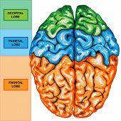Vista superior del cerebro humano