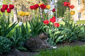 A Lazy Grey Cat, Relaxing In A Flower Bed Between Bright Blooming Tulips. poster