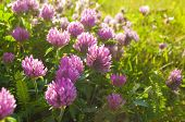 Spring Pink Flowers Of Clover Blooming In The Spring Field And Lit By Warm Sunlight - Spring Sunset  poster