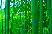 Beautiful Bamboo Green Fresh Forest Branches. Asian Nature, Japanese Jungle, Bamboo Trees Stems On T poster