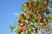 Árvore de maçã