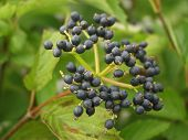 Wild Blue Berries, Portland, Maine