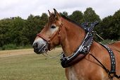 Ardennes Horse With Harness