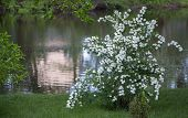 Spiraea, A Flowering Bush On Green Grass. Spiraea, A Flowering Bush On Green Grass. Used In Landscap poster