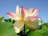 stock photo of water lily  - water lily - JPG