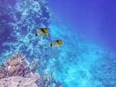 Underwater World Of The Sea, Two Butterfly Fishes, Corals, Against The Background Of The Sea Bottom  poster