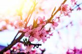 Blooming Cherry Tree Branches Against poster