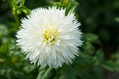 Aster Flowers In Green Garden. Aster Blossom On Blurred Natural Background. Blossoming Flowers With  poster