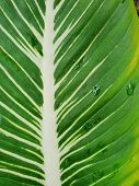 Soft Focus Of Leaves Chinese Evergreen Or Aglaonema Modestum As A Background. Natural Green Wallpape poster