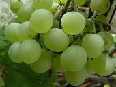 Vine Grapes