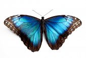 Schmetterling Morpho Rhetenor Cacica isolated over white background