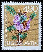 Iugoslávia - 1980: Um selo imprimido em shows de Jugoslávia Astragalus sempervirens Lam, série, ci