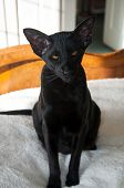 Black Oriental Shorthair Cat Portrait.  This Rare Cat Breed Is Sitting On A Bed And Has Amber Colore poster