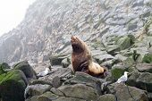 stock photo of sea lion  - Male of the Northern sea lion  - JPG