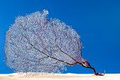 Dried coral reef sea fan on sand. Concept of seawater Pollution in the world.  This pictures belongs