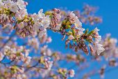 Sakura Blossoms On Branch During Springtime Blooming And Blue Sky. Spring Flowers Blossoming. Soft F poster