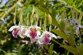 Wild Orchid Plant