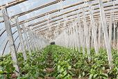 stock photo of stent  - Vegetable greenhouses internal view indoors north china - JPG