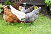 stock photo of bantams  - Pretty Pet chickens in an English garden - JPG