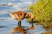 pic of baby goose  - A baby Canadian goose searching for food - JPG