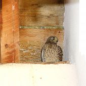 Juvenile Kestrel On Nest