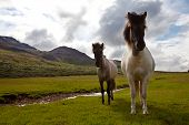 horse on Faeroe islands