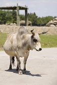 pic of zebu  - Close - JPG