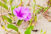 Convolvulus Arvensis Or Field Bindweed. It Is A Species Of Bindweed That Is Rhizomatous And Is In Th poster