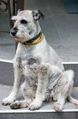 The miniature Schnauzer is sitting on the steps of the