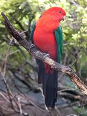 stock photo of king parrot  - king parrot - JPG
