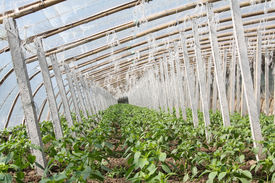 picture of stent  - Vegetable greenhouses internal view indoors north china - JPG