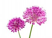 Allium Purple Sensation Flowers