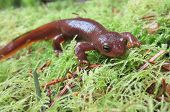 image of newt  - A Male Rough - JPG