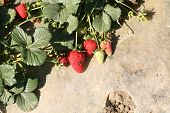 Strawberries AKA Fragaria Ã??Ã?? ananassa, or garden strawberry, is a hybrid species that is cultiva