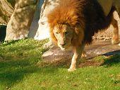 Lion walking durch Dschungel