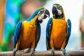stock photo of blue animal  - A pair of parrots in the  - JPG