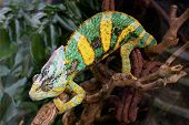 stock photo of terrarium  - Blue and yellow chameleon in glass terrarium - JPG