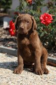 Chesapeake Bay Retriever Puppy In Front Of Red Roses