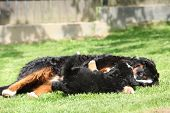image of bitch  - Bernese Mountain Dog bitch playing with puppy in the garden - JPG