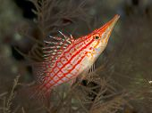 stock photo of hawkfish  - Coral fish Longnose hawkfish in red sea - JPG