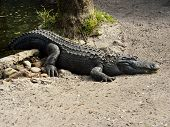 picture of alligators  - A Large Male American Alligator - JPG
