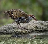Buff-Banded Rail Bird With Water Reflection