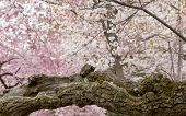 Detail Of Gnarled Trunk Of Cherry Blossom Flowers